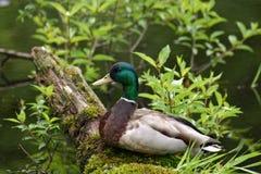 Ente, die recht sitzt Stockfoto