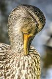 Ente, die seine Federn pflegt Stockbild