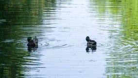 Ente, die seine Federn putzt stock footage