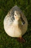 Ente, die Sie betrachtet stockbild