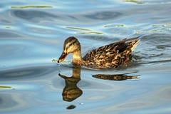 Ente, die in Wasser mit Reflexion schwimmt lizenzfreie stockfotografie