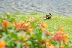 Ente durch den See Lizenzfreie Stockbilder