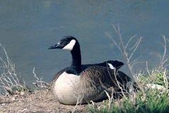 Ente durch Pond Lizenzfreies Stockfoto