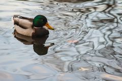 Ente in einem allgemeinen Park Lizenzfreie Stockfotografie
