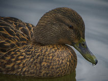 Ente in einem See Lizenzfreies Stockfoto