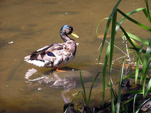 Ente in einem Teich. Stockfotografie