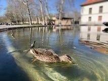 Ente in einem Teich lizenzfreies stockbild