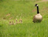 Ente-Familie lizenzfreie stockfotografie