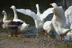 Ente flattert seine Flügel auf dem Fluss Lizenzfreies Stockfoto