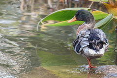 Ente im Familie Anatidae Lizenzfreie Stockfotografie