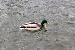 Ente im Fluss Stockfoto