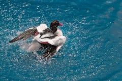 Ente im freien blauen Wasser Lizenzfreies Stockfoto