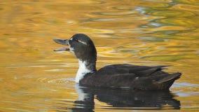 Ente im goldenen Wasser in Volkspark Enschede Stockbilder