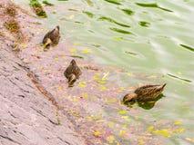 Ente im See Lizenzfreies Stockbild
