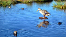 Ente im Sumpf Stockbild