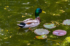 Ente im Teich Stockfotografie