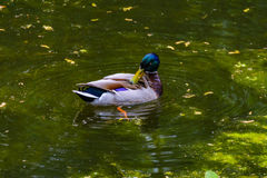 Ente im Teich Stockbild