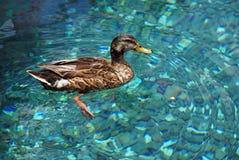 Ente im Trinkwasser Stockfotografie