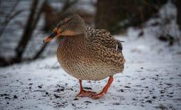 Ente im Winter stockfoto