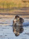 Ente-Jagd Stockbilder