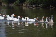 Ente kommen zum Wasser des Flusses Stockbild