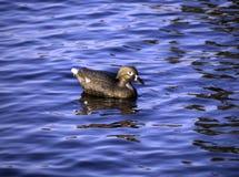 Ente-Lockvogel auf dem See Stockbilder