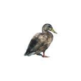 Ente, lokalisiert auf Weiß Lizenzfreies Stockfoto