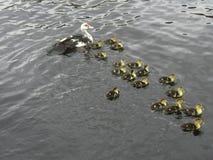 Ente mit 17 Kleinkindern Stockbilder
