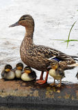 Ente mit Babys/Entlein Lizenzfreies Stockbild