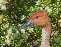 Ente mit Blumen Stockfotografie
