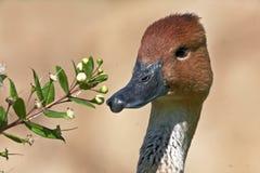 Ente mit Blumen Stockfoto
