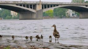 Ente mit Brut von Entlein gehen über Steinkai in der Stadt am Sommertag stock footage
