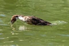 Ente mit dem Kopf versenkt unterhalb der Wasseroberfläche bei Tauchen auf der Suche nach Nahrung lizenzfreies stockfoto