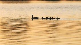 Ente mit den Entlein, die bei Sonnenuntergang schwimmen stock footage