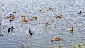 Ente mit den Entlein, die im Teich schwimmen Stockfotografie