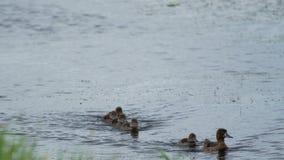 Ente mit einer Brut schwimmt entlang den Fluss stock footage
