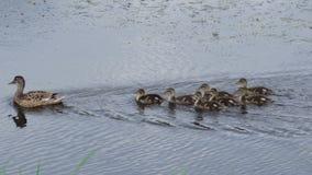 Ente mit einer Brut schwimmt entlang den Fluss stock video footage