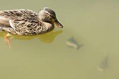 Ente mit Fischen Lizenzfreie Stockbilder