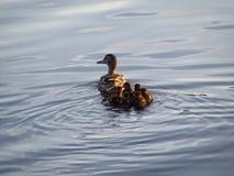 Ente mit ihren Kindern Stockfoto