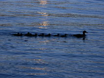 Ente mit kleinen Enten stockfotos