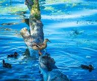 Ente mit seinen Küken Lizenzfreie Stockbilder
