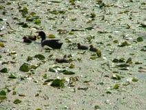 Ente mit wenig eine Stockbild