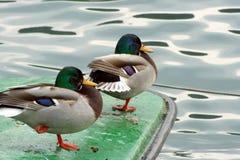 Ente mit zwei Stockenten Stockfotos