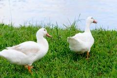 Ente mit zwei Weiß, die auf Glas sitzt Stockbilder