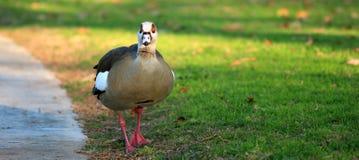 Ente schaut auf der Kamera Stockbild