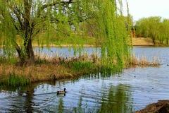 Ente-Schongebiet Lizenzfreies Stockfoto