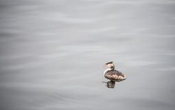 Ente schwimmt stockfotografie