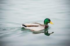 Ente schwimmt lizenzfreies stockbild