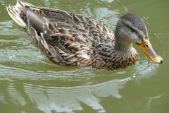 Ente schwimmt auf Wasser Stockfotos