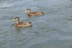 Ente schwimmt auf Wasser Lizenzfreie Stockfotos